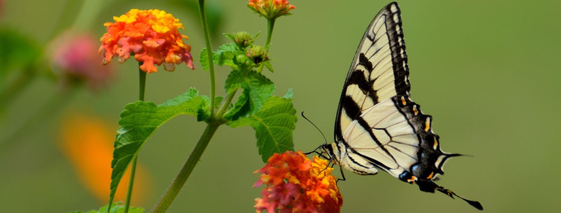 Mad til sommerfuglene
